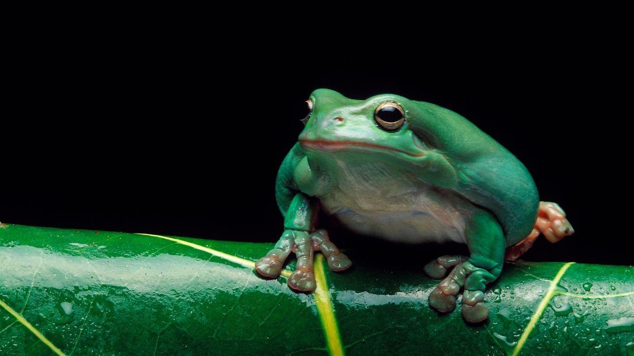 odlašanje in žaba
